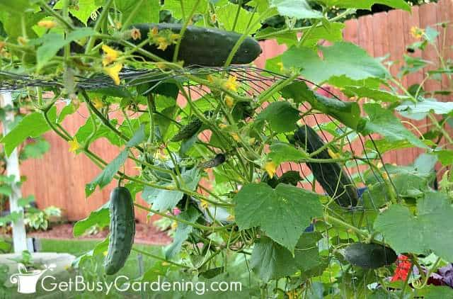 Cucumbers are super easy vegetables to grow outside from seed