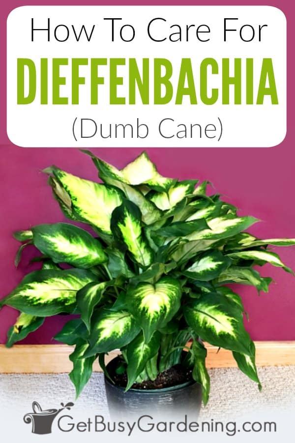 Dumb Cane (Dieffenbachia) care is easy when you know how. Get tons of information about this beautiful tropical low light houseplant - including the name, different types, poison and toxicity to pets (cats and dogs), propagation, and FAQs. Learn to troubleshoot common problems, like yellow leaves, brown leaf tips, tall leggy plants. Plus get detailed care tips for exactly how to grow dumb cane, including water, light, soil, pruning, and more.