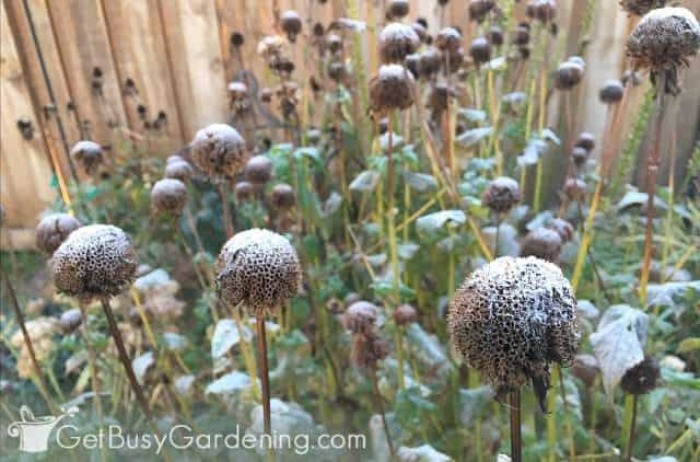 Frost covered bee balm flower heads