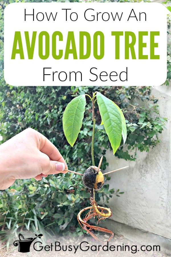 How To Grow An Avocado Tree From Seed Get Busy Gardening