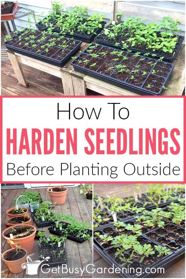 How To Harden Seedlings Before Planting Outside