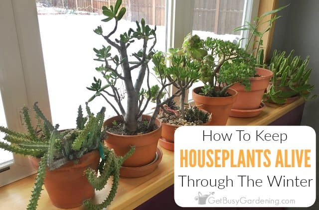 How To Keep Indoor Plants Alive In Winter - Get Busy Gardening House Plant Winter on winter fragrant plants, winter potted plants, winter deck plants, winter hibiscus, winter hardy plants, winter perennial plants, winter interest plants, winter patio plants, winter outdoor plants, winter container plants, winter flowering plants, winter house cookies, great winter plants, winter yard plants, winter porch plants, winter planter plants, winter house art, winter shade plants, winter blooming plants, winter house landscaping,