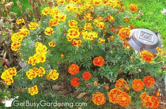 Marigolds are one of the easiest flowers to grow from seed