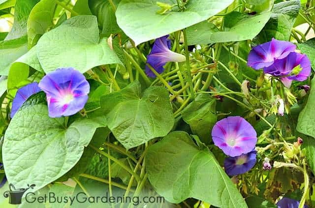 Morning glory are super easy seeds to direct sow