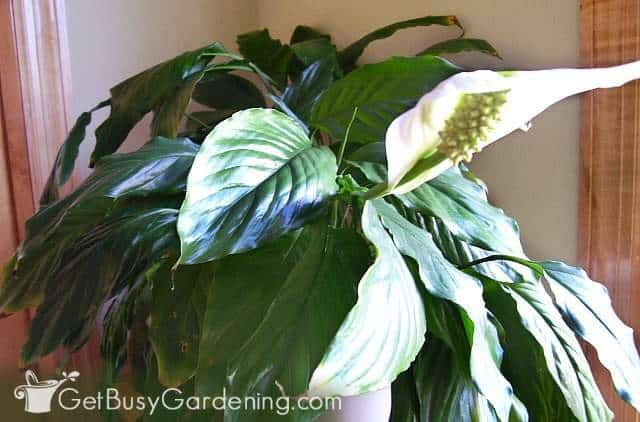 My peace lily flowering in the spring