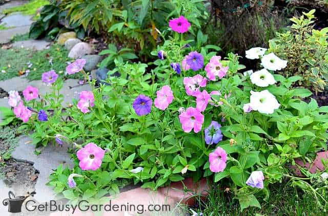 Petunia are great direct sow flower seeds