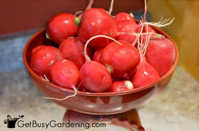Radishes are easy vegetable seeds to plant in the garden