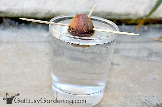 Rooting an avocado pit in water