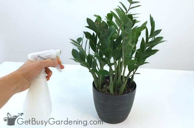 How To Get Rid Of Houseplant Bugs Naturally - Get Busy Gardening