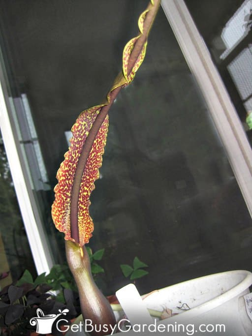Voodoo lily corpse flower blooming