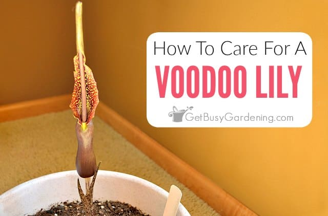 How To Care For A Voodoo Lily Plant