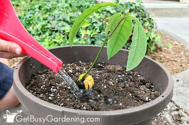 Watering my newly potted avocado tree