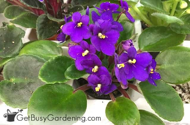 African violet is a non-toxic houseplant