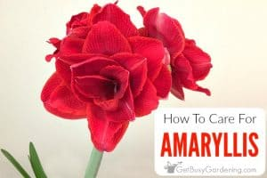 How To Care For An Amaryllis