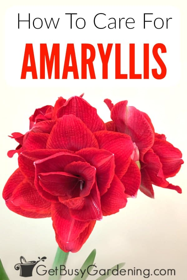 Amaryllis bulbs flower during the holidays, and are popular Christmas gifts (especially ones with red or white flowers). Learn how to grow amaryllis indoors as a houseplant, or outdoors in the garden. This detailed amaryllis care guide includes care after blooming, tips for reblooming, as well as watering, light, soil, fertilizer, repotting, pest control, pruning, propagation, saving and growing seeds, troubleshooting common problems, and more!