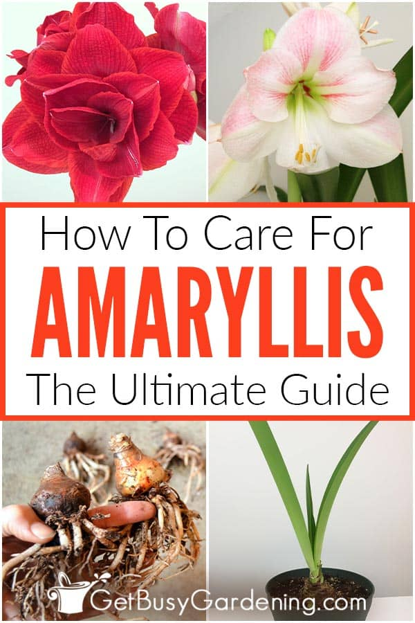 How To Care For Amaryllis: The Ultimate Guide