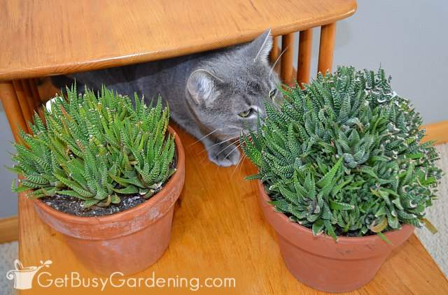 Haworthias are indoor plants that are safe for cats and dogs