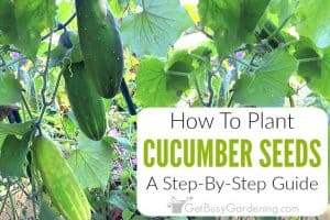 How To Plant Cucumber Seeds: A Step-By-Step Guide