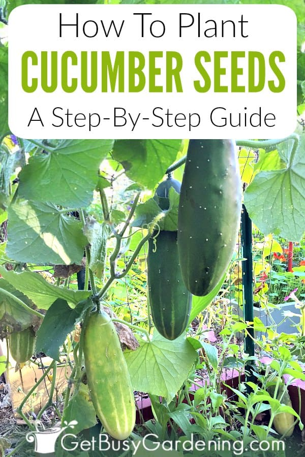 Cucumbers are one of the easiest vegetables to grow from seed. Learn exactly how to grow cucumbers from seed in this step-by-step guide. Includes details for where to grow cucumbers in your garden, when and how to plant cucumber seeds (by direct sowing or starting the seeds indoors), and tips for harvesting cucumbers.