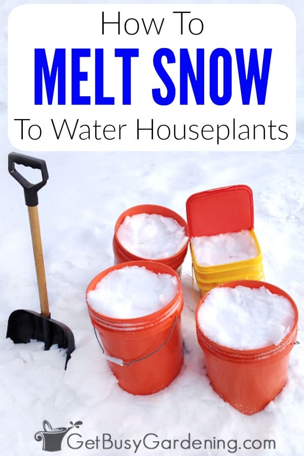 Using melted snow to water indoor plants is not only economical, it's easy. You can use melted snow to water plants just like you would use any other type of water. Plus, melted snow is the same as rainwater - and it's SO GOOD for your houseplants! Get my step-by-step instructions for collecting and using snow for watering indoor plants.