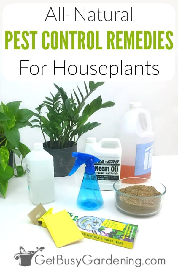 There are many ways to control houseplant pests without using toxic insecticides. Using all-natural pest control for houseplants is much healthier for us and our plants. There are lots of home remedies and homemade insect sprays that work great to kill bugs on indoor plants! So skip the toxic chemical pesticides, and try these organic methods and products for plants instead. It works!