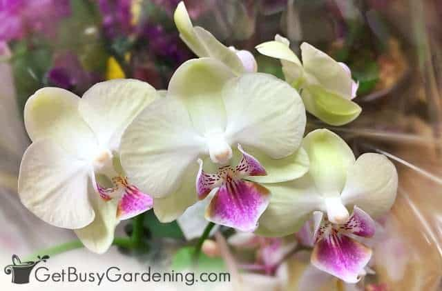 Phalaenopsis orchids are cat and dog safe indoor plants