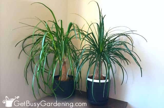 Ponytail palms are pet safe house plants