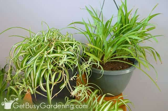 Spider plants are safe for dogs and cats