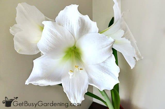 White amaryllis flower
