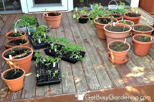 Hardening off plants and seedlings on my deck