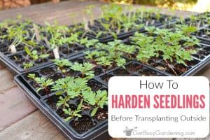 How To Harden Off Seedlings Before Transplanting