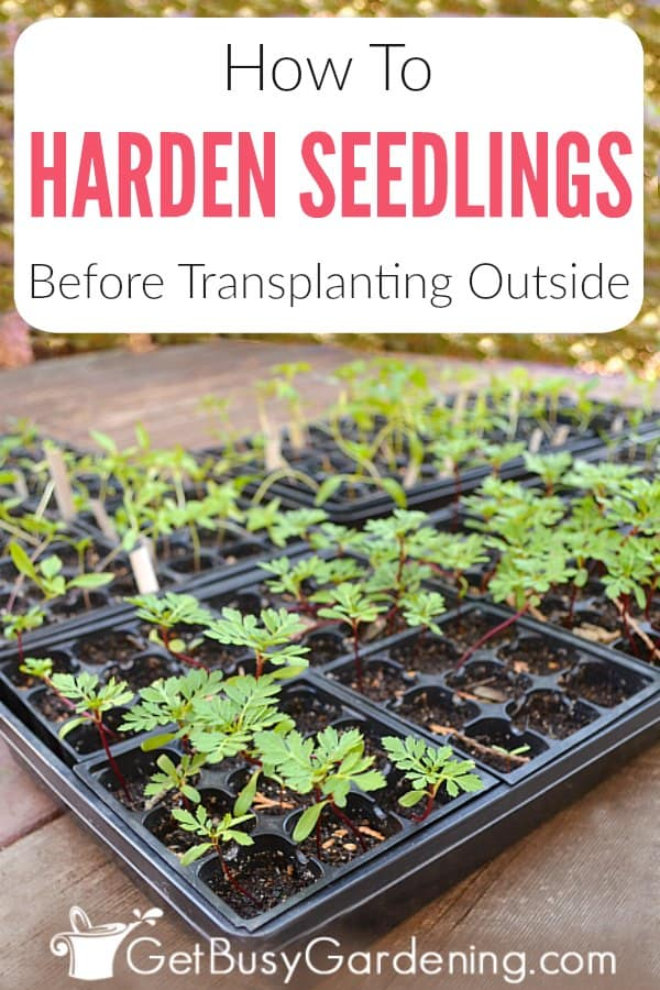 Hardening off seedlings is the process of preparing new plants for life outdoors. It's a critical step of successful indoor seed starting, and it's one that many new gardeners miss. Taking the time to harden seedlings will ensure that they will survive being transplanted to your garden. Learn what hardening off means, when to start the process, and get detailed step-by-step instructions for how to harden off seedlings.