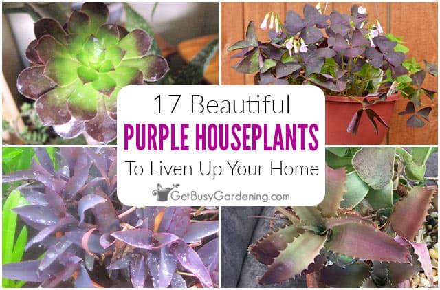 17 Beautiful Purple Houseplants