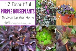 17 Beautiful Purple Houseplants