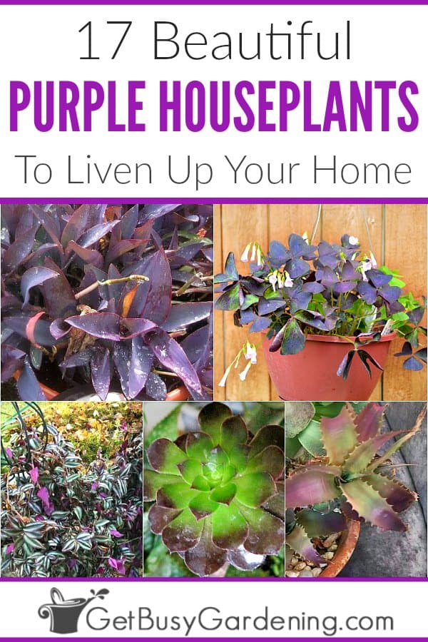 17 Beautiful Purple Houseplants Get Busy Gardening