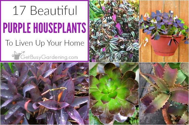 17 Beautiful Purple Houseplants - Get Busy Gardening on house plants with colorful leaves, indoor plant identification by flower, house plants and their names, house plant propagation, shrubs that flower, house plant white flower, house plant with curly leaves, house identify plant by leaf, house plant pink flower, house with flowers, house plant with heart shaped leaves, indoor plant with white flower, house plants with red veins, palms that flower, house plant identification succulent plant, house plant with green leaves and white, indoor flowering plants flower, grass that flower, house plants with large leaves, house plants for fall,