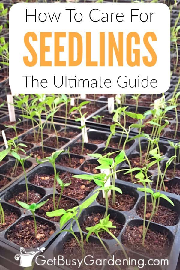Growing seedlings indoors doesn't have to be hard. Learn everything you need to know about how to grow strong, healthy plants for your gardens in this ultimate seedling care guide. Find tips for what to do after seedlings sprout; including proper lighting, how to water, thinning, and fertilizing. Plus, tips for transplanting seedlings to new pots, when to plant them into the garden in the spring, troubleshooting common problems, answers your FAQs, and more!