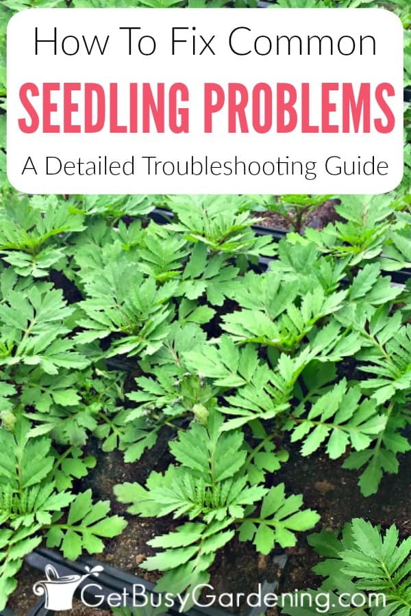 Seedling problems are super frustrating, especially when you don't know what's wrong, or how to save them from dying. Find out the causes, how to fix common problems, and get help with this comprehensive troubleshooting guide. Including how to fix leggy seedlings, why seedlings are falling over and dying, what causes seedlings to turn yellow or brown, how to get rid of mold or bugs on seedlings, and how to fix curling, drooping, or dried leaves, and much more!