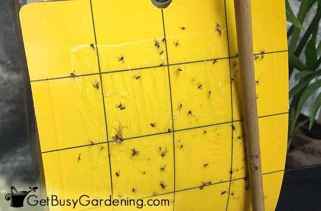 Use yellow sticky traps to control bug problems with seedlings