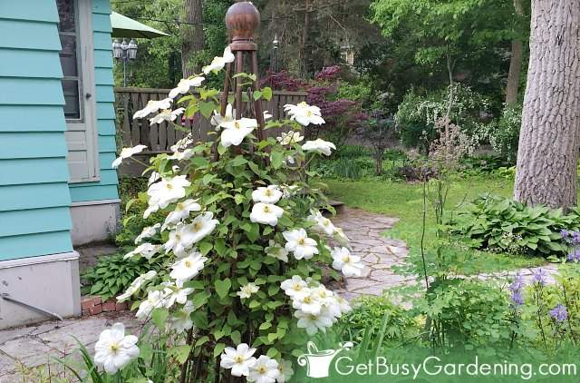 Clematis are beautiful climbing plants with flowers