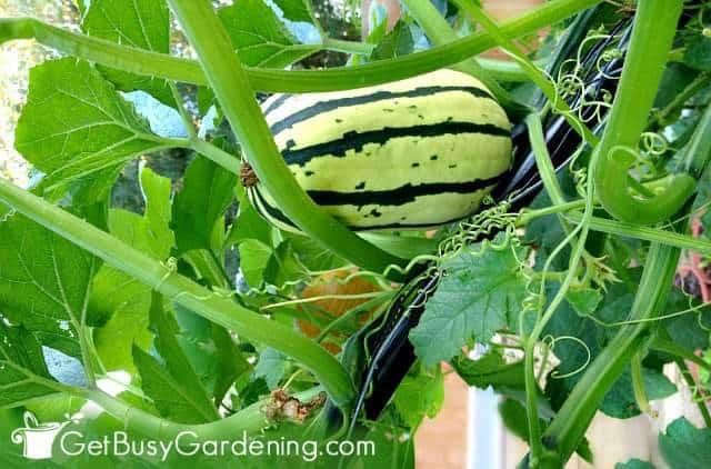 Delicata squash growing vertically