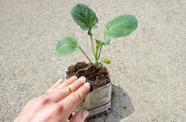 Gently pack the soil as you pot up seedlings
