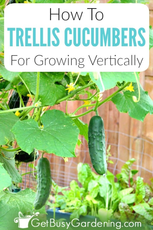 Growing vertical cucumbers in your home veggie garden is simple, great for small spaces, and has many benefits. Learn how to grow cucumbers vertically, including the best plants to use, the benefits, choosing supports for climbing cucumbers, trellis ideas (like fun a-frame, arch and lean-to styles), and tips for using chicken wire fencing for trellising cucumbers. You'll also learn exactly how to trellis cucumbers, and train the vines to climb vertically.