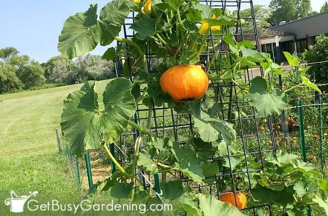 Growing pumpkins on a trellis
