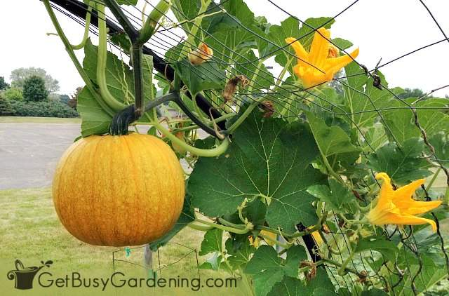 Growing pumpkins vertically with pumpkin hanging down