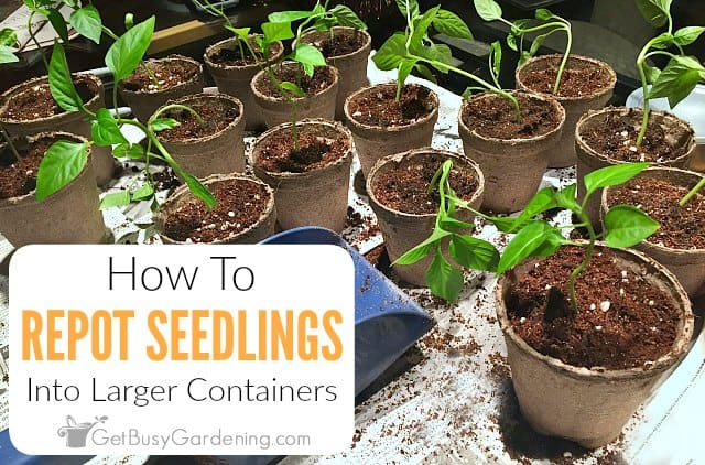 How To Repot Seedlings Into Larger Containers - Get Busy