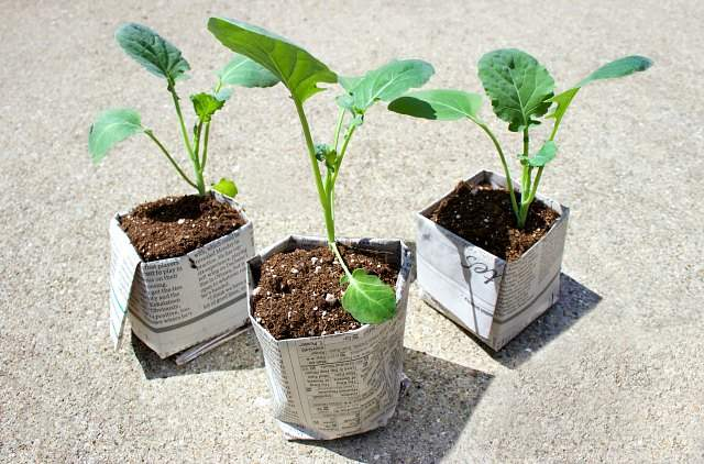 Seedlings potted in newspaper pots