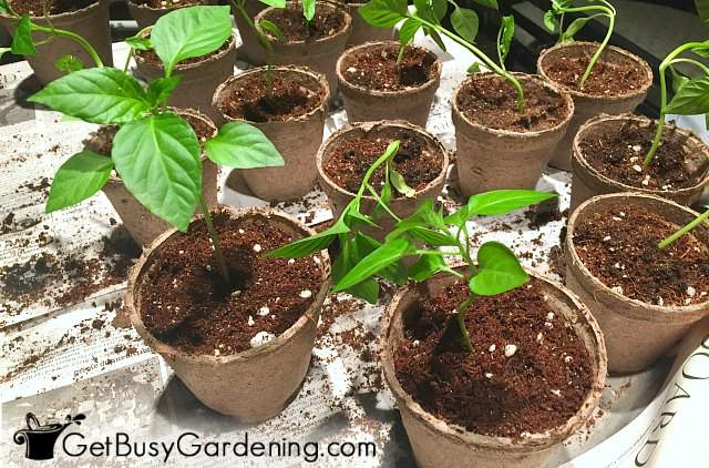 Seedlings repotted into larger containers
