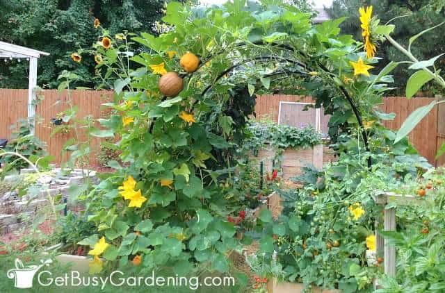 Squash vines growing on my DIY squash arch