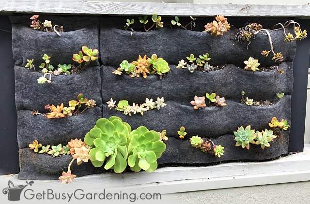 Succulents growing vertically in wall pocket planters